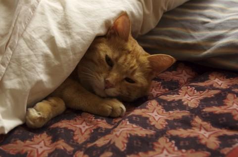 布団に入った猫